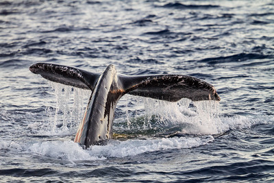 Close-up of whale tail fin - USA - Hawaii