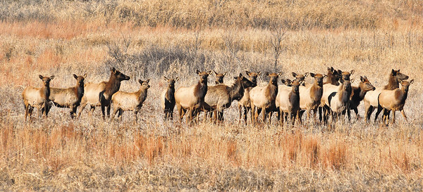 There is a large Elk herd on Fort Sill