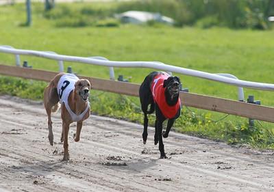 hundkapplöppninng i Åkersberga-Greyhound