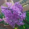 Hyacinth collection 2020v ML