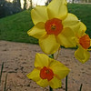 Daffodils Woodhams Garden 2020 ML