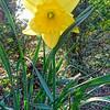Daffodil SFG 2020 ML