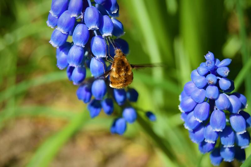 Maya Szekely Y8 Blue 3 - Garden Grape Hyacinth