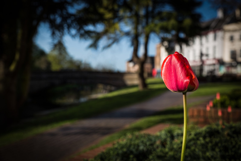 Tulips Spalding
