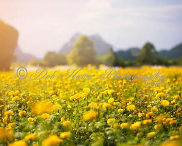 11 8x10 Marigold Fields Background