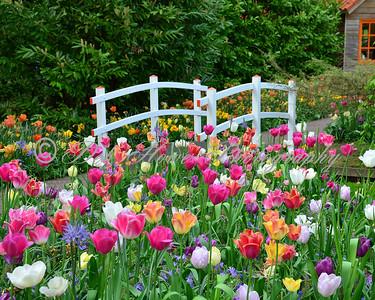 6 8x10 Tulip Bridge Background