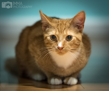 cat, tabby cat, tabby, ginger, ginger cat, pet, kitten, pet portrait, cat lovers, cat portrait, cat posing, kitten portrait, kitten posing, pet photography, cat photography, kitten photography
