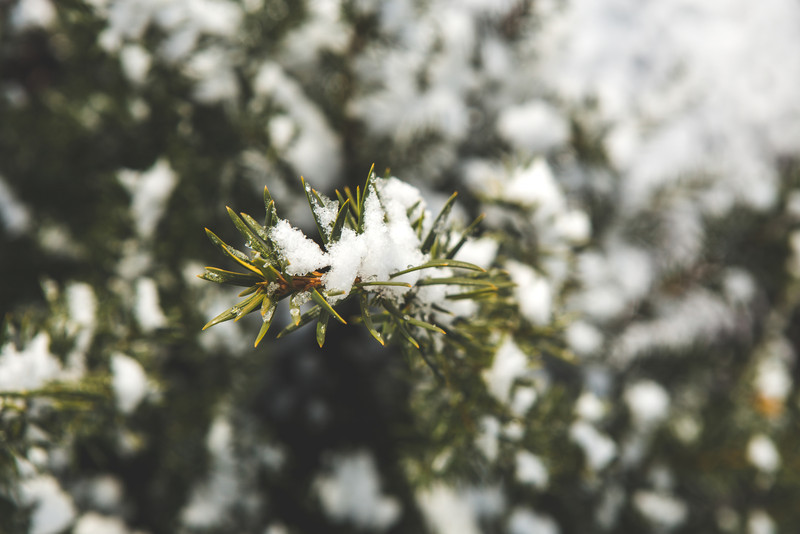 Evergreens in snow.