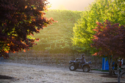 Beacon Hill Winery's 2021 harvest on Thursday, September 16, 2021. (Michael Cary Photography www.michaelcaryphotos.com)