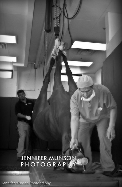 Artistic horse being led to MRI table