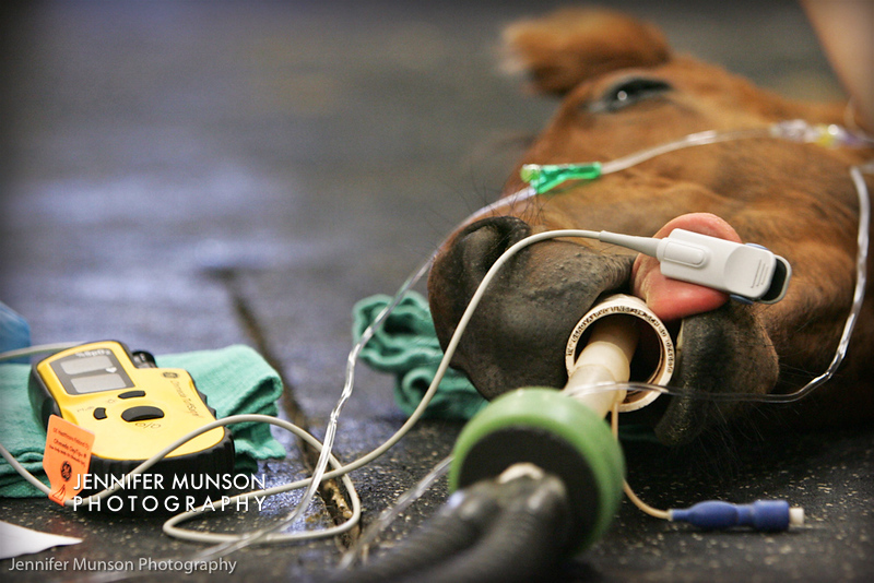 foal under anaesthesia
