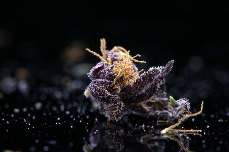 Buckey Purple Head Stash Horticulture -40