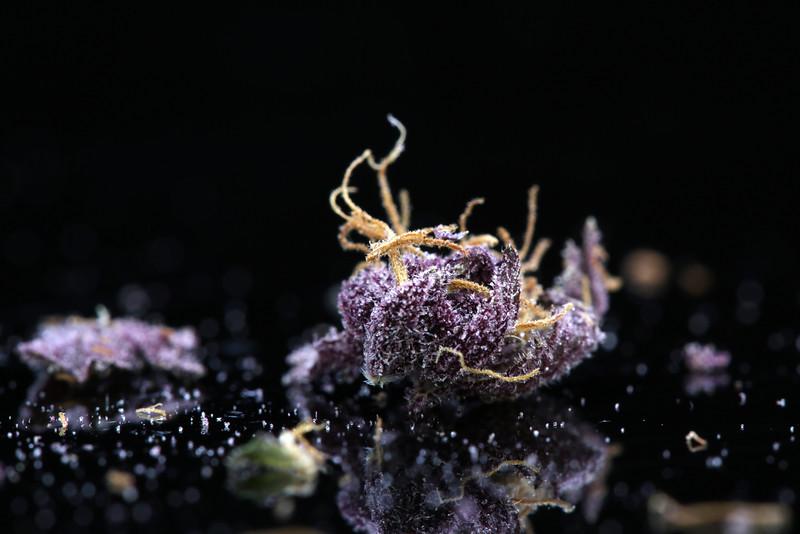 Buckey Purple Head Stash Horticulture -38