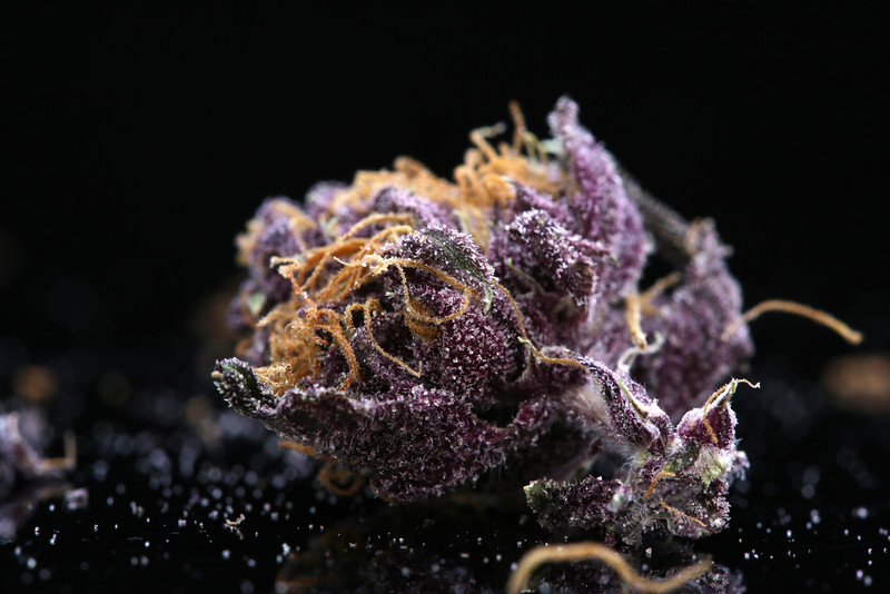 Buckey Purple Head Stash Horticulture -39