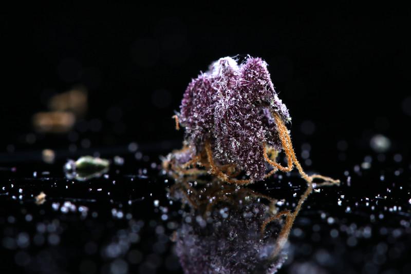 Buckey Purple Head Stash Horticulture -45