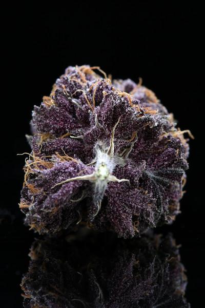 Buckey Purple Head Stash Horticulture -18