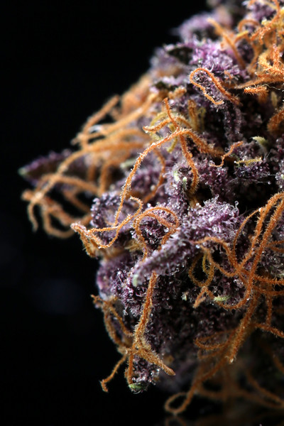 Buckey Purple Head Stash Horticulture -13