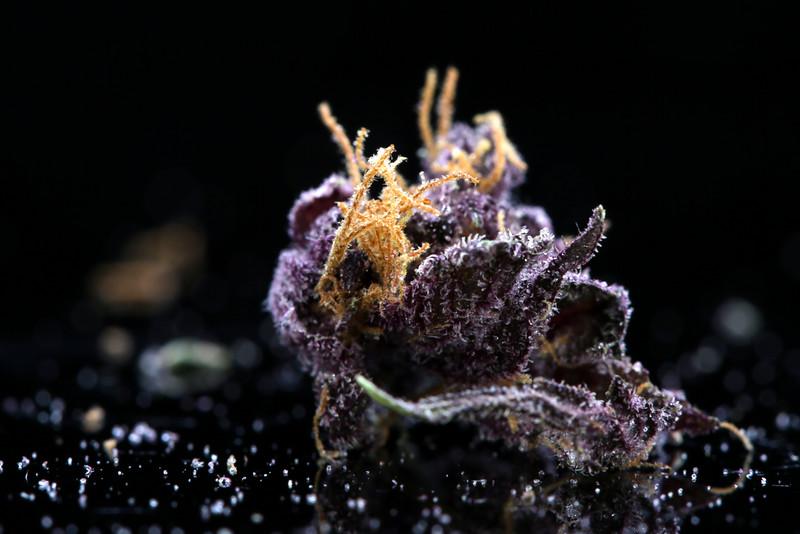 Buckey Purple Head Stash Horticulture -41