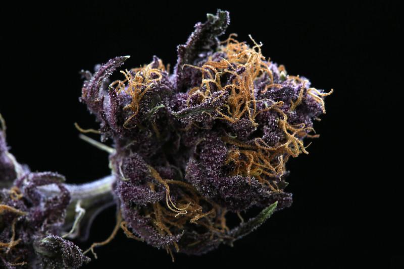 Buckey Purple Head Stash Horticulture -35