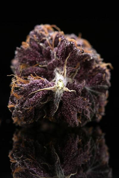 Buckey Purple Head Stash Horticulture -19