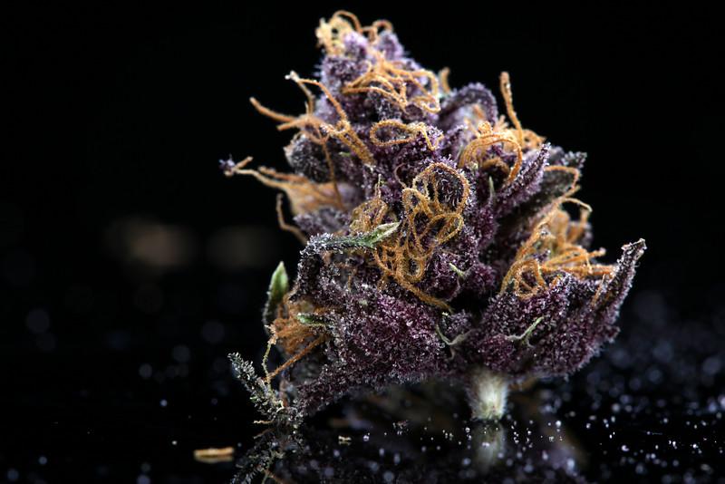 Buckey Purple Head Stash Horticulture -44