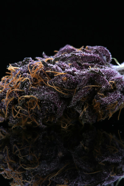 Buckey Purple Head Stash Horticulture -10