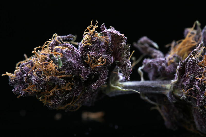 Buckey Purple Head Stash Horticulture -33