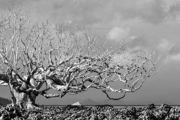 MMPI_20200909_MMCK0074_0001 - A lone dead mangrove tree stands on a rocky sandbar.