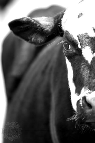 Peek-Cow