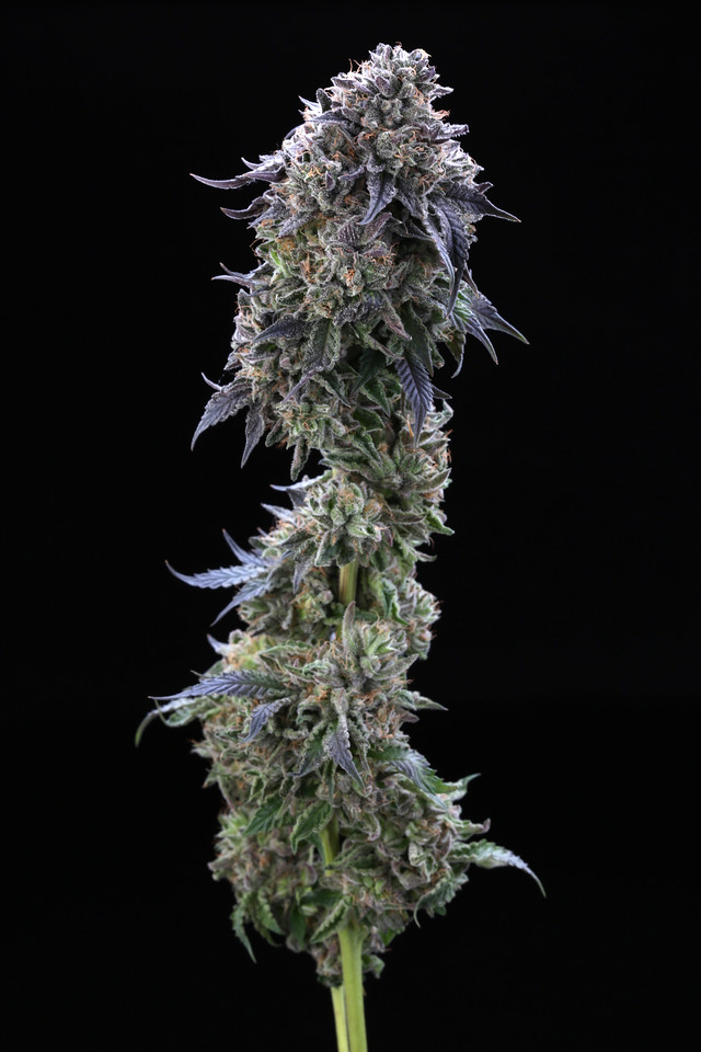 BR4A2295  Gelato ( MultitopFarms ) copy