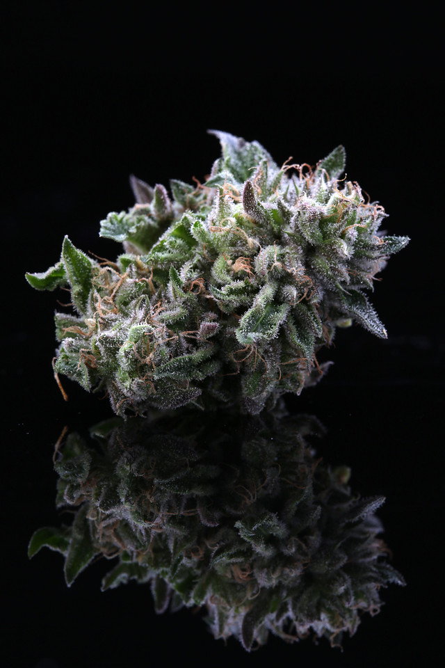 BR4A2364 Gelato ( MultitopFarms )  copy