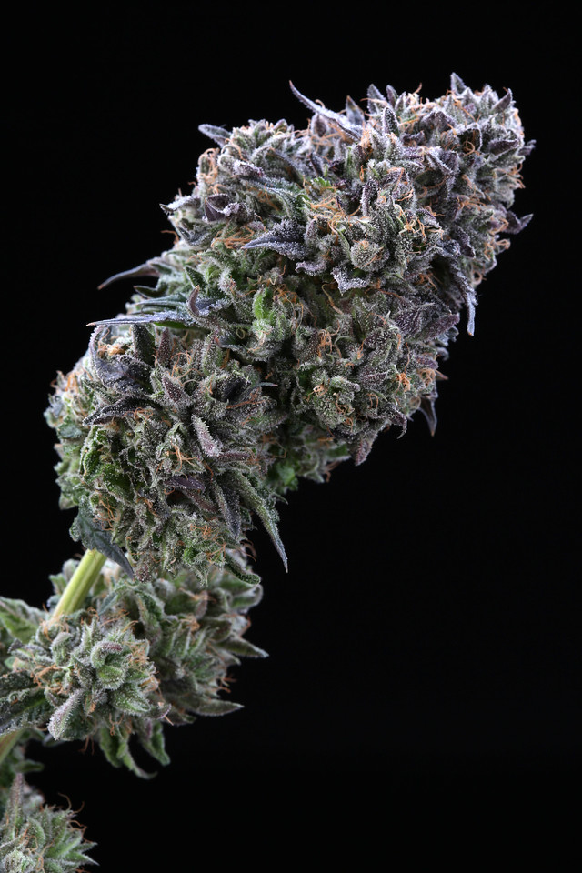 BR4A2316 Gelato ( MultitopFarms ) copy