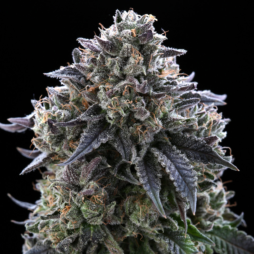 BR4A2301 1  Gelato ( MultitopFarms ) copy