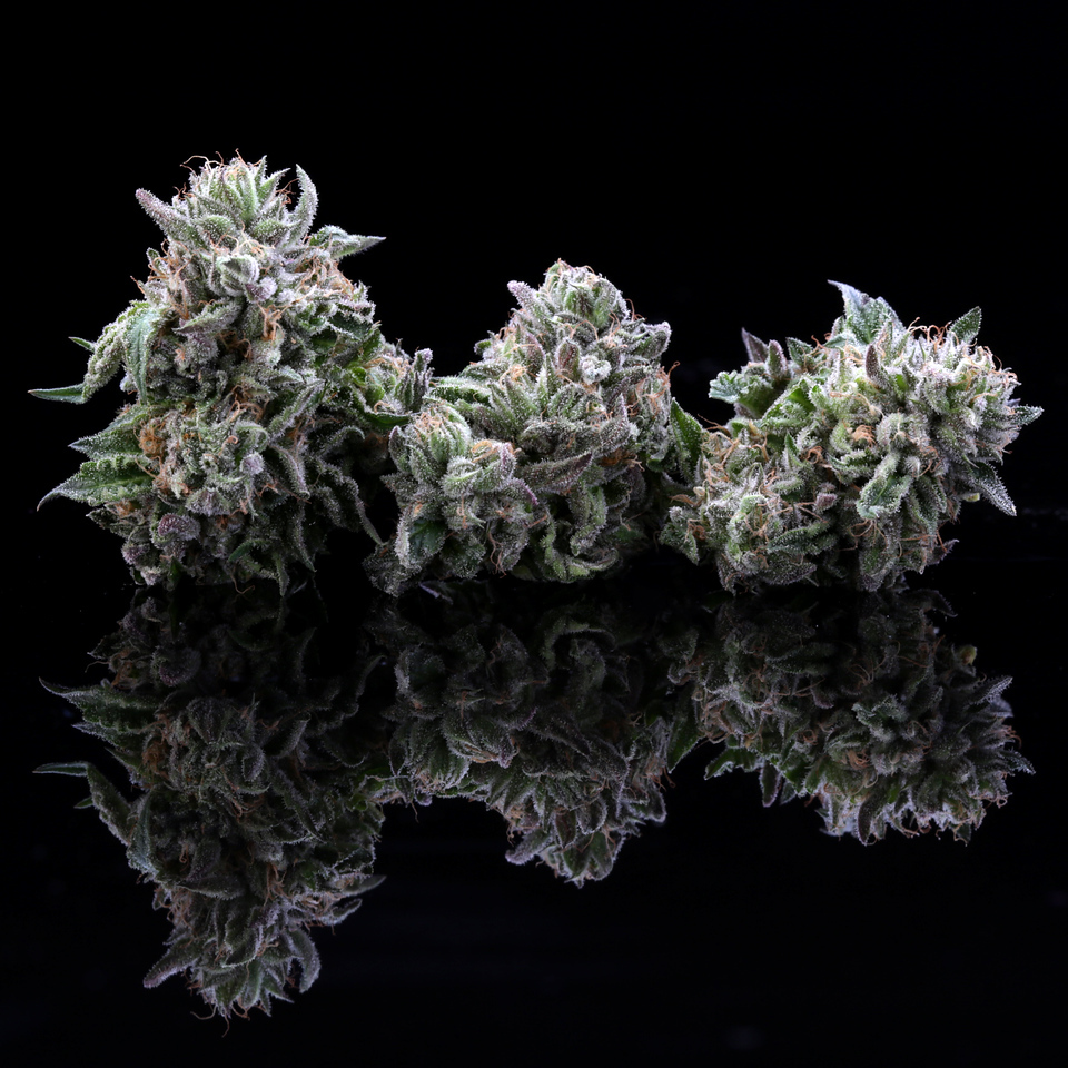 BR4A2368 Gelato ( MultitopFarms )  copy