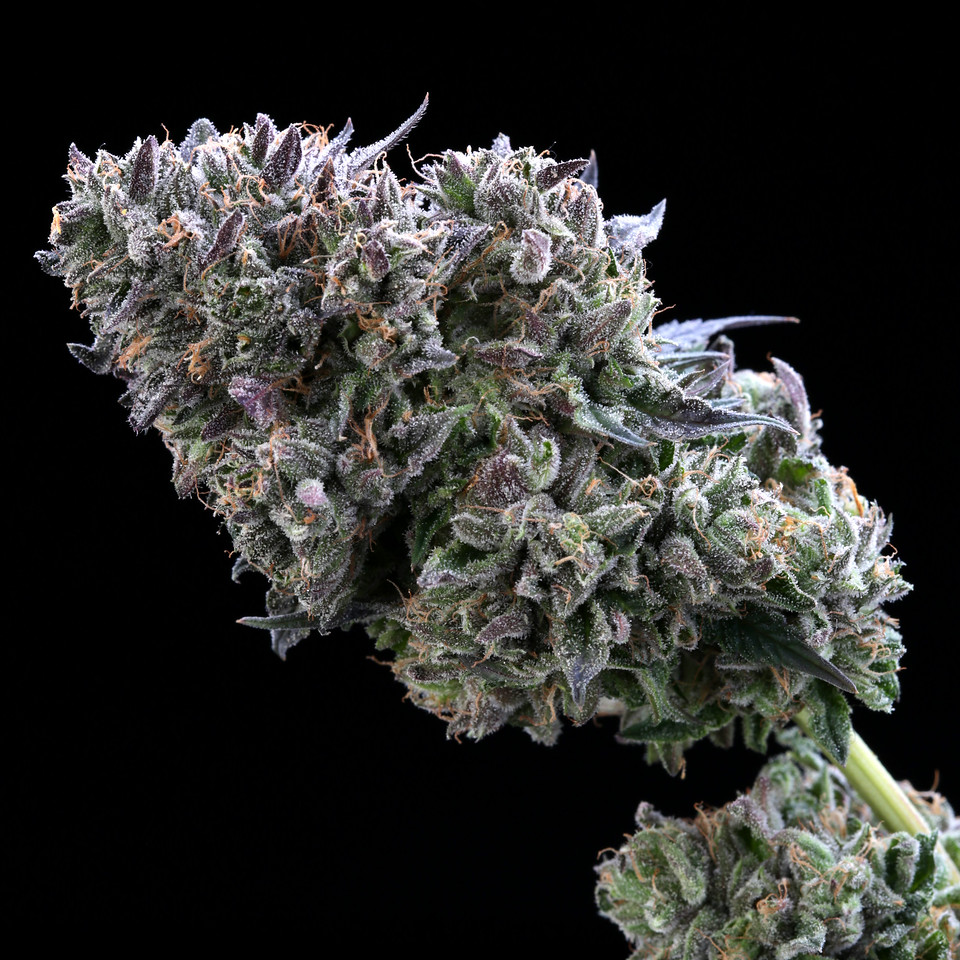 BR4A2313 1 Gelato ( MultitopFarms ) copy
