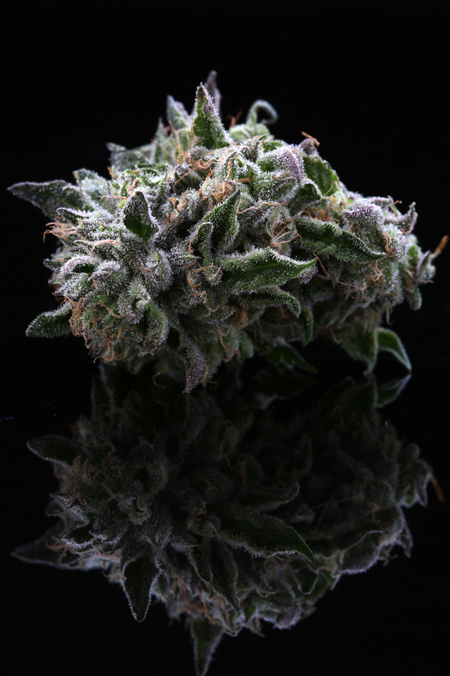 BR4A2361  Gelato ( MultitopFarms ) copy
