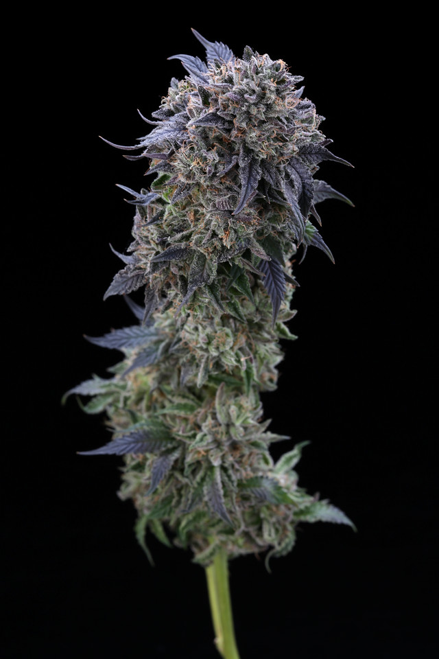 BR4A2291 Gelato ( MultitopFarms )  copy