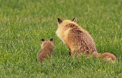 Contemplating the great, big world and maybe a little advice...Mom and baby foxes. Great Falls, VA. April, 2010. Capturing these pic's involved hiding and waiting in/shooting out of a seriously decrepit barn so as not to be seen by the protective mother.