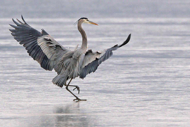 Ice dancing. Great Blue Heron, Potomac River. Jan, 09.