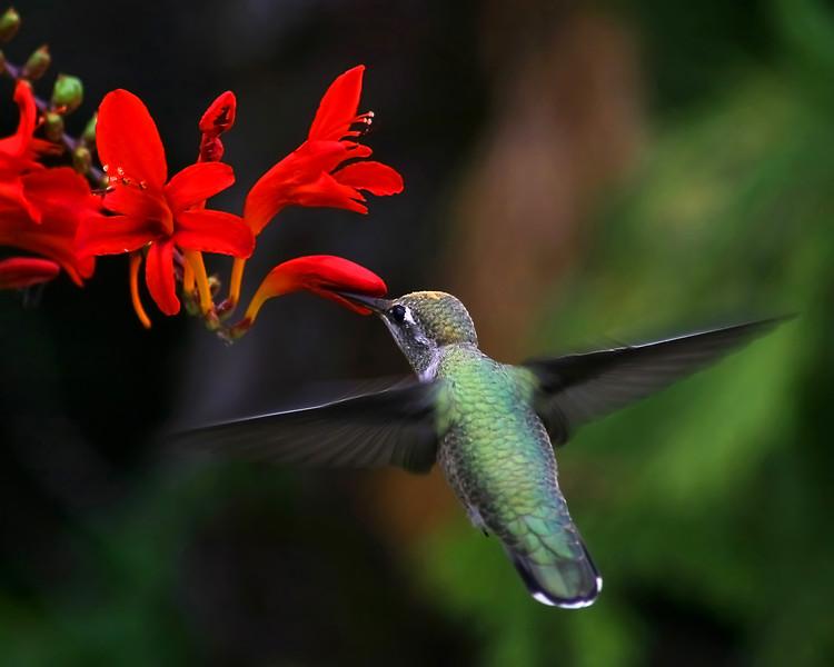 16 x 20 hummingbird copy ( For canvas )