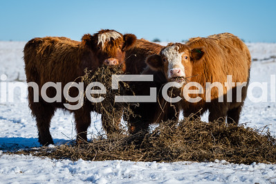 Highland Cattle, Oturehua 2020