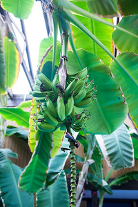 Bananas on large Banana trees planted by pool