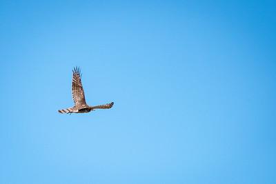 Second Cooper's Hawk Release
