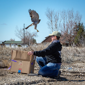 Second Cooper's Hawk Release