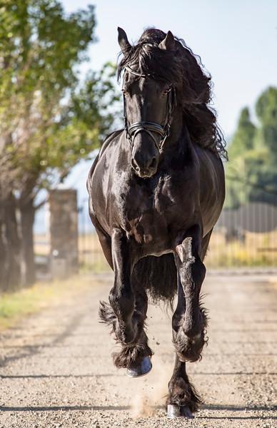 Carson Valley Living Magazine / Maddi's Friesian Horses
