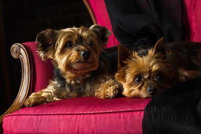 Yorkies / Pet Portrait