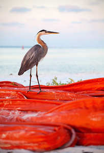 Heron on boom at the Pensacola Pass.