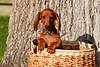 Pups_0019_Dchshnd_SH_PAW