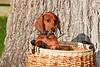 Pups_0009_Dchshnd_SH_PAW