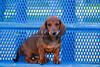 Pups_9781_Dchshnd_SH_PAW